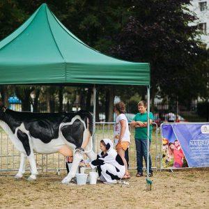 Konkurs dojenia sztucznej krowy - organizacja imprez plenerowych